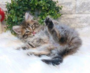 メローサの子猫たち⑤生後2か月になりました。
