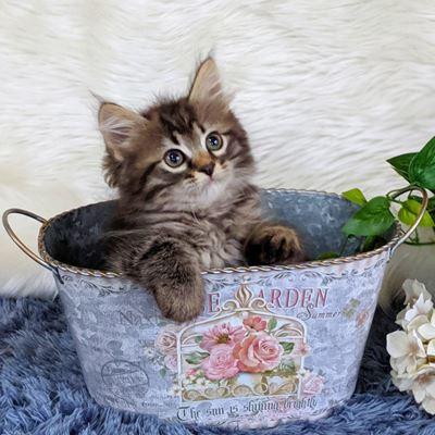 やんちゃんの子猫たち⑨もうすぐ2か月!サイベリアン・ネヴァマスカレード