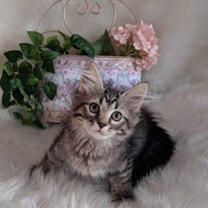 やんちゃんの子猫 オーナーさん決まりました。 サイベリアン