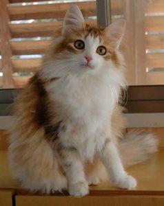 琥珀色の猫たちの話(Amber color Norwegian forest cat) ①珍しい毛色のノルウェージャン