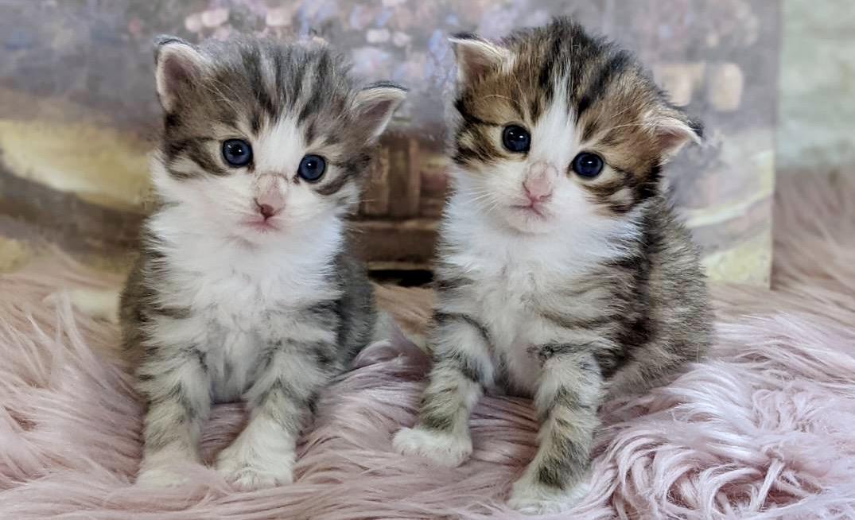みるちゃんの子猫たち①ブルーとブラウンの子猫たち
