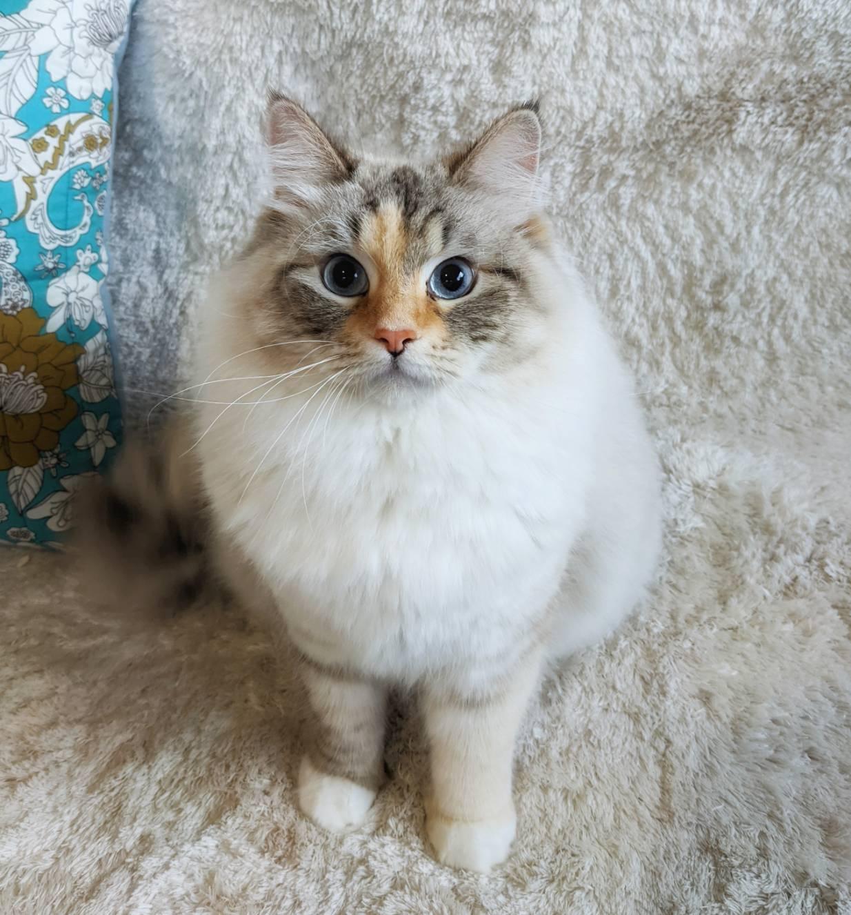 サイベリアンという猫