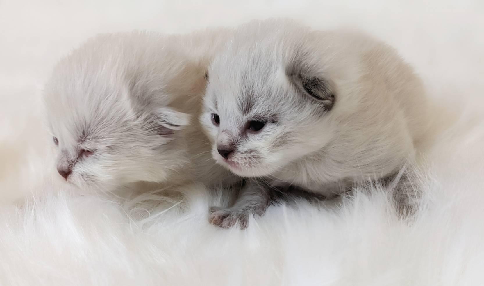 やんちゃんの子猫たち②まんまるサイベリアンとネヴァマスカレード
